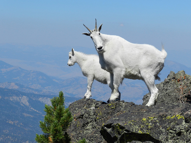 2 mountain goats on a ridge