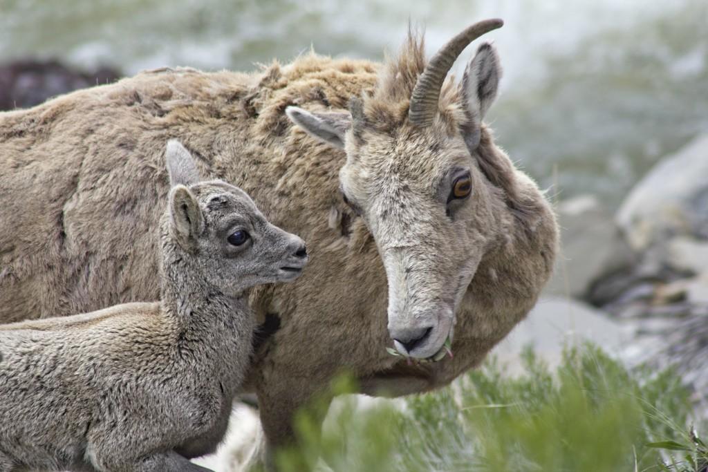 Big Horn Sheep Babies Resize