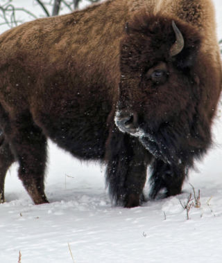 Bison in winter - Yellowstone