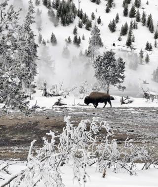 Bison (17)