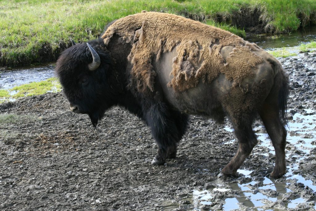 Bison standing in a river bed