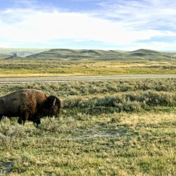 10 Tips for Summer Wildlife Viewing in Yellowstone
