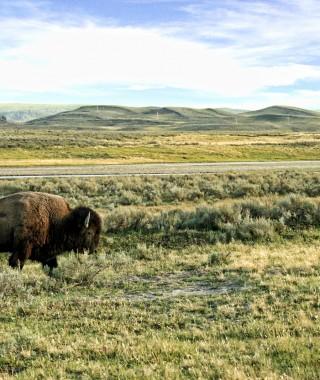 Bison (57)