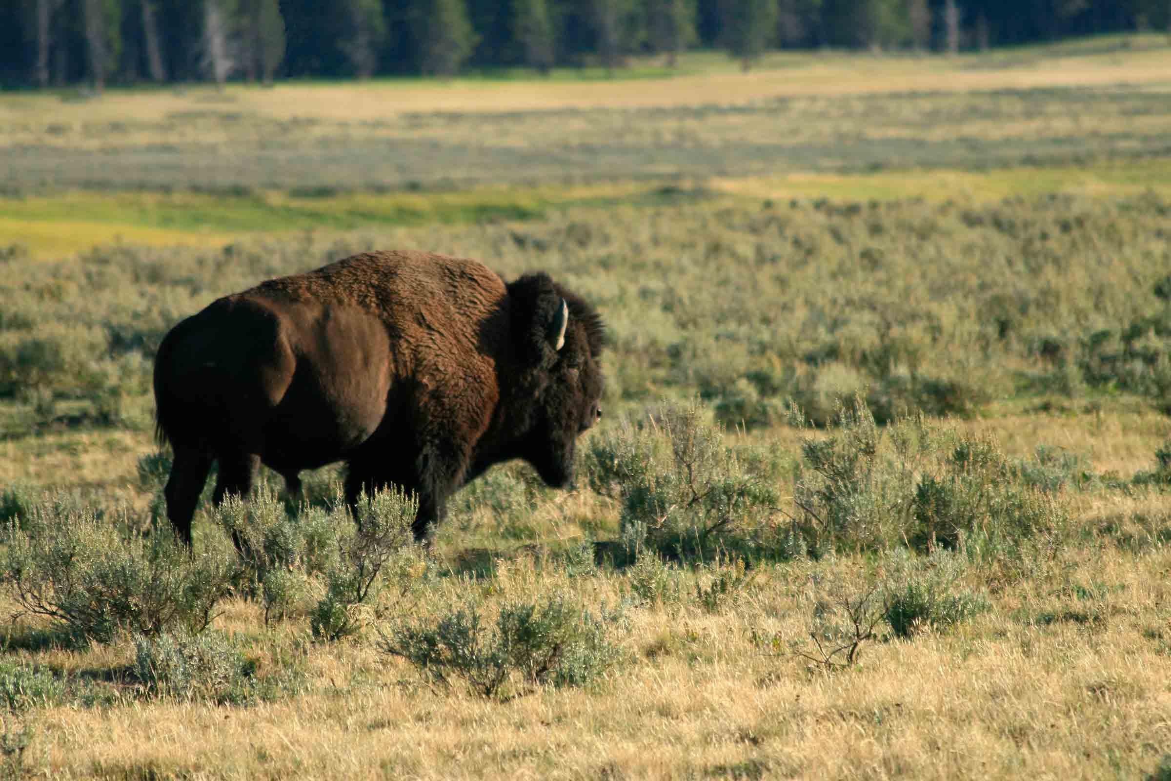 bison-yellowstone