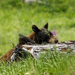 Essential Bear Safety in Yellowstone