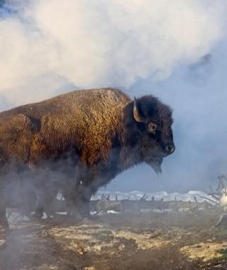 Buffalo 64