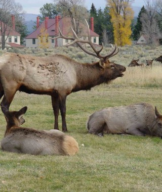 elk-bugle