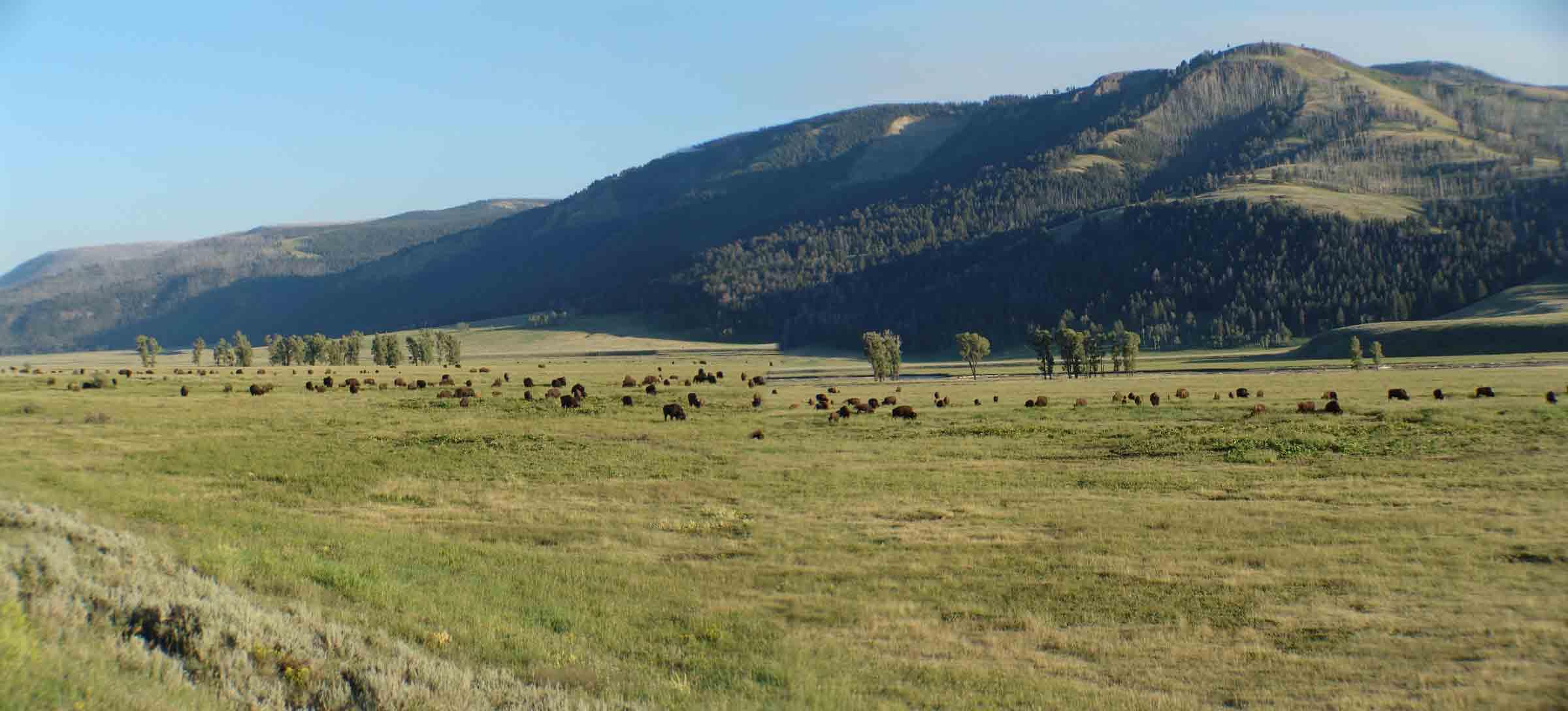 lamar-bison