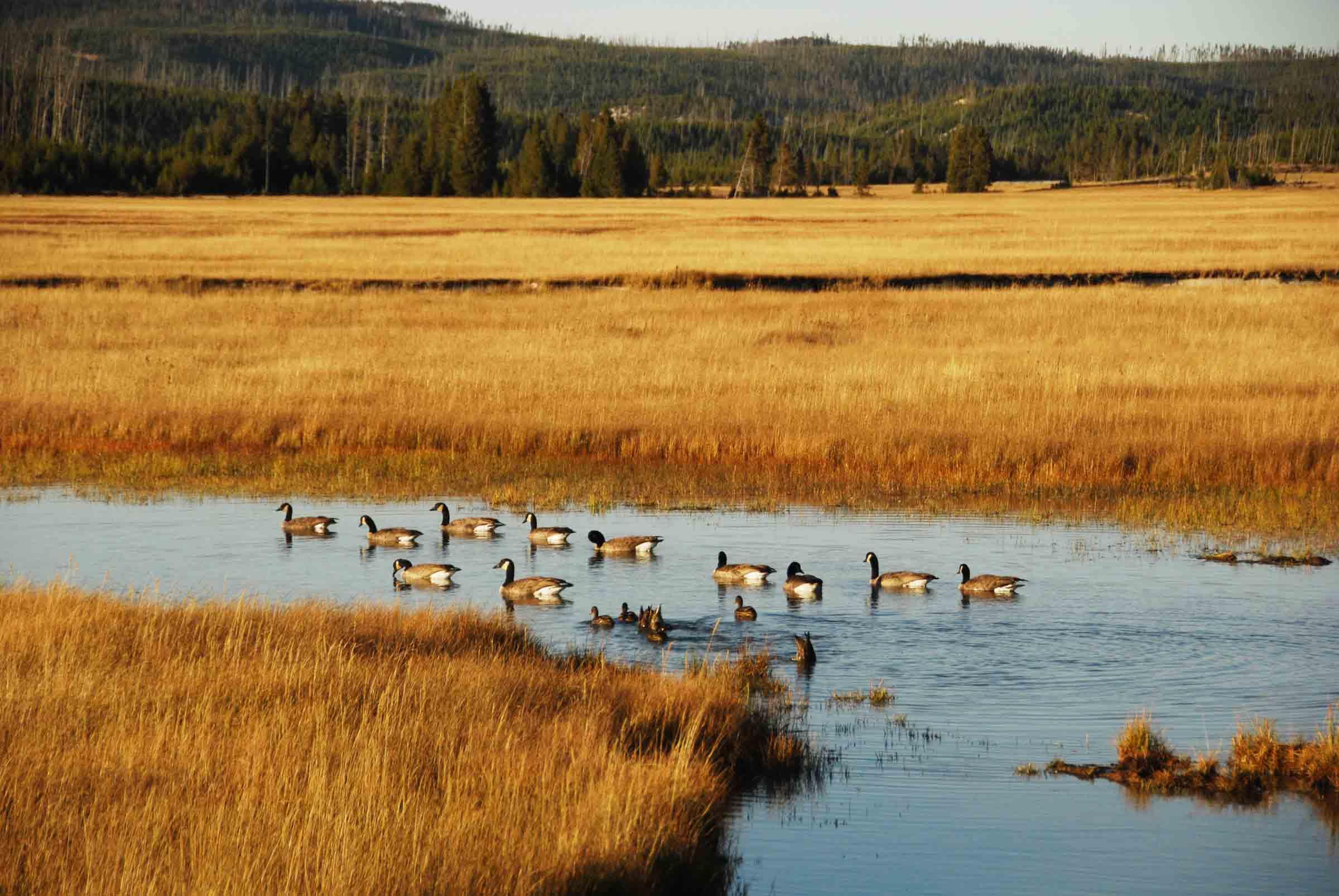 wildlife-geese-pond
