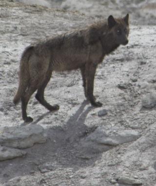 Wolf - Yellowstone