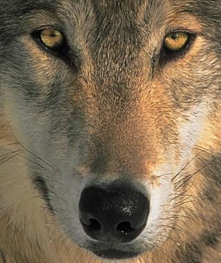 wolf-square