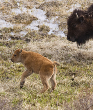 Bison calfs and mom early spring in Yellowstone