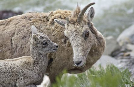 Big Horn Sheep Babies