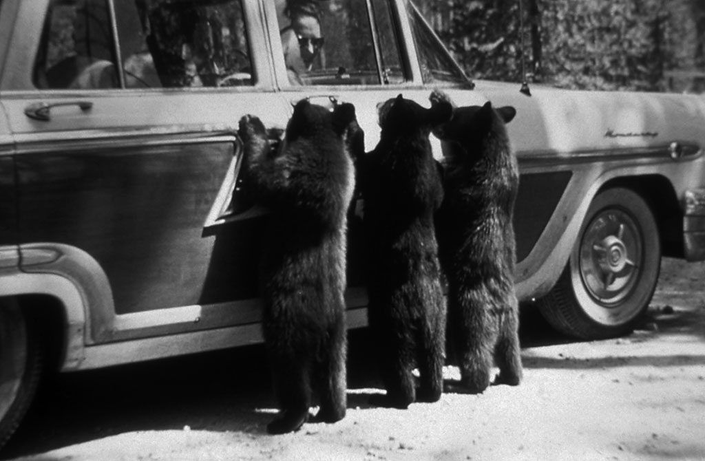 black bears in yellowstone historic photo