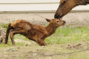 Elk baby being licked by mother
