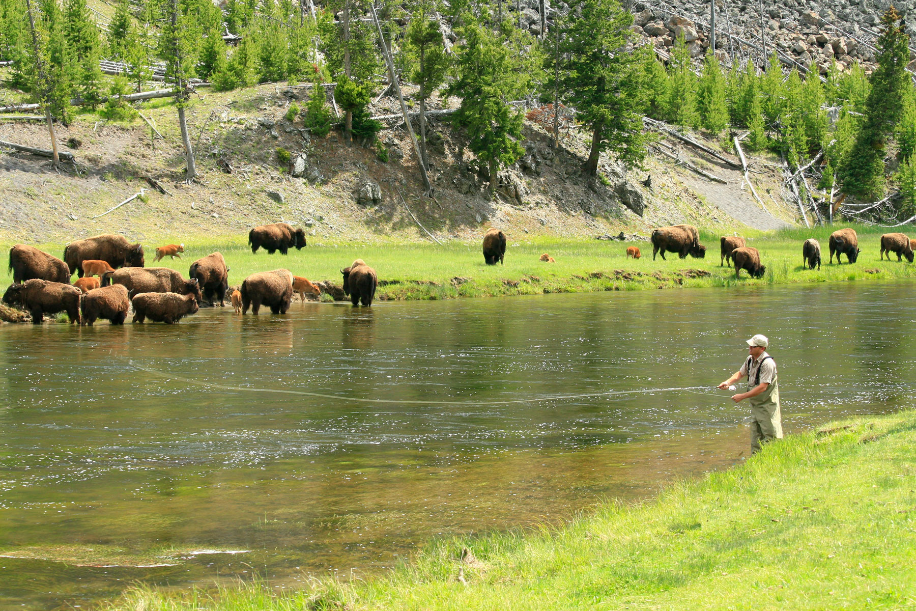 Man fishing in river with bison roaming in the background