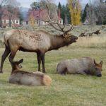 Elk bugle