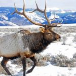 Elk with snow-covered mountains in the background