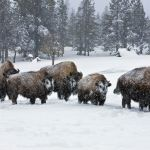 Buffalo wintering in the Upper Geyser Basin. Yellowstone National Park, Wyoming.