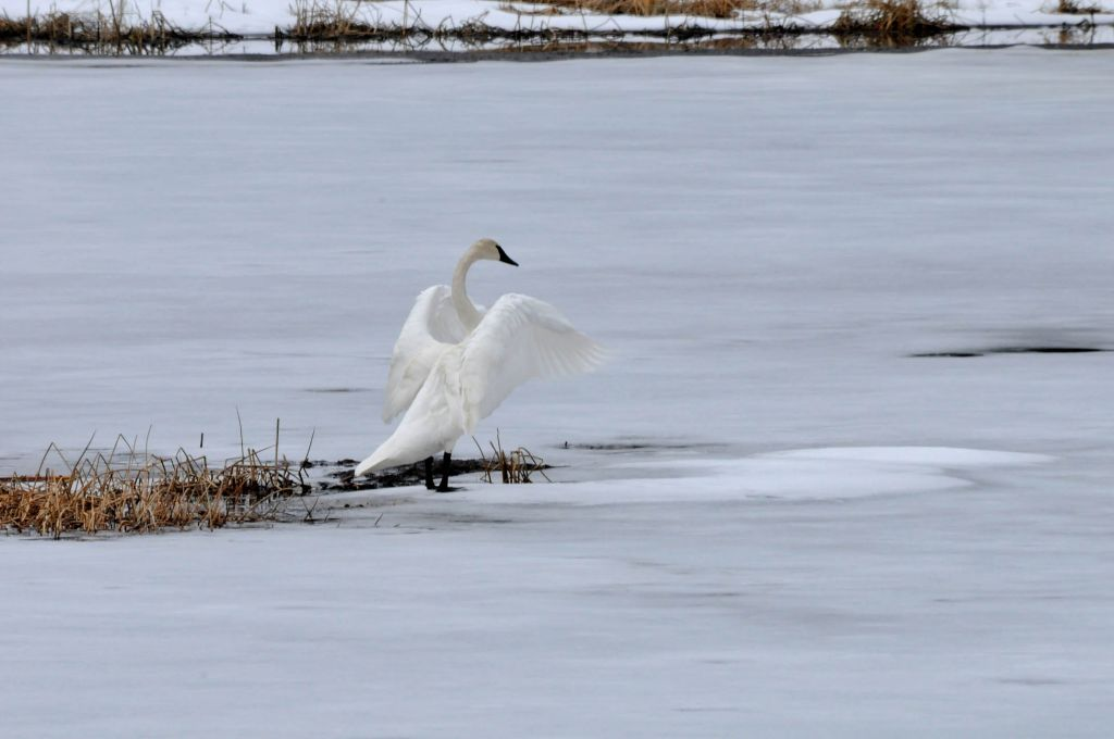 Trumpeter Swan on ice