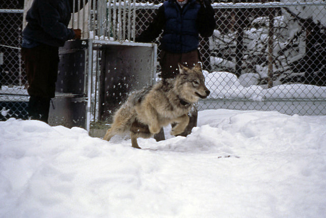 Wolf being released