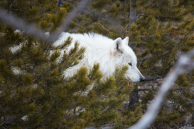 Wolf walking through trees
