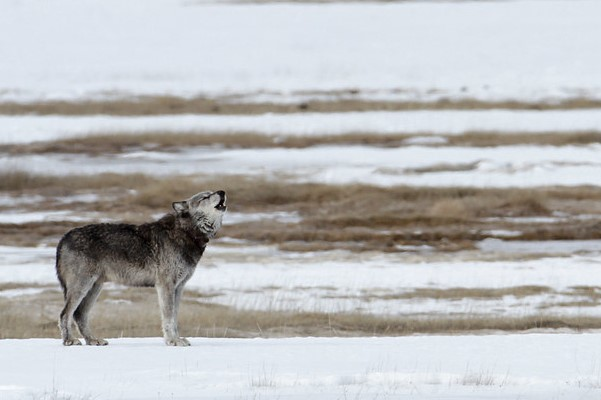 Alpha male (712) of the Canyon pack in the Lower Geyser Basin