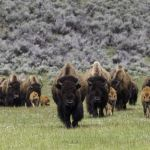 A herd of bison move through a green valley.