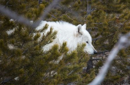 Alpha female wolf of the Canyon pack