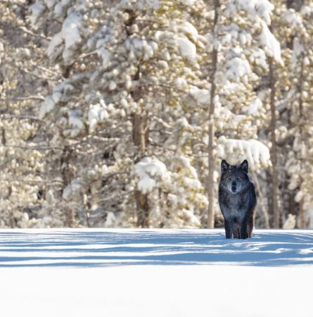 Ten Animals You May (or May Not) See in Yellowstone