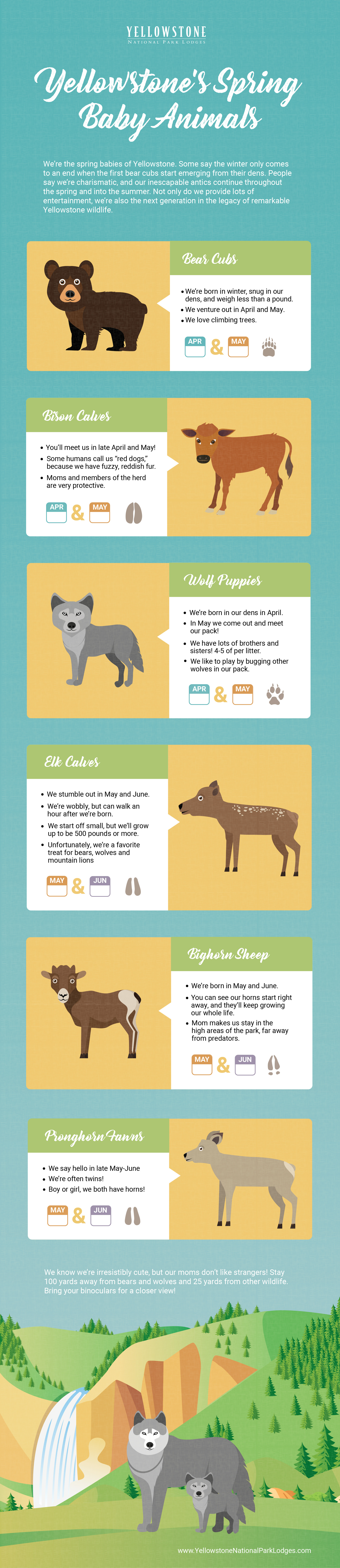 Yellowstone baby animals infographic