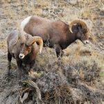 Two bighorn