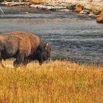 Bison roaming near pond