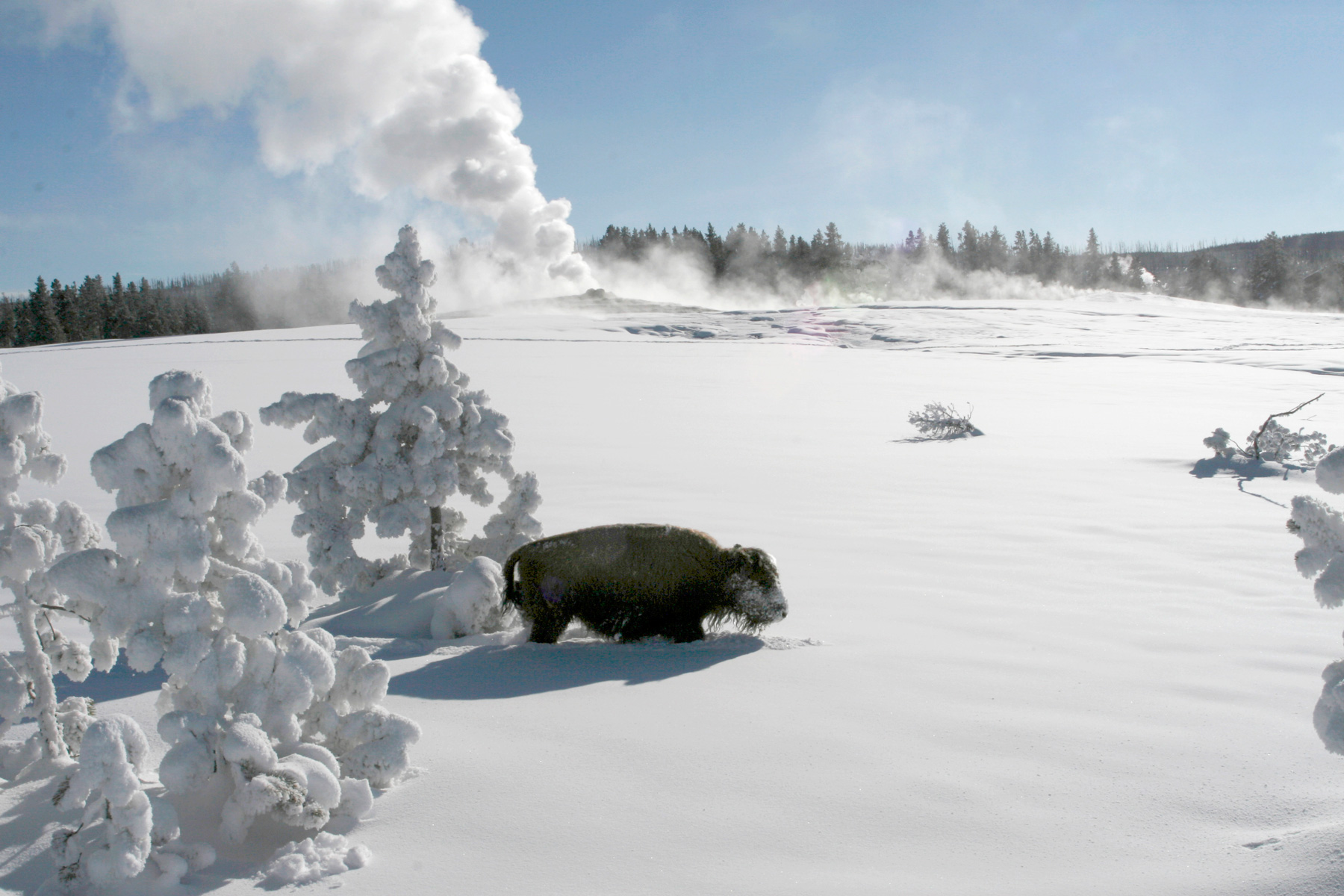 Bison in Winter Old Faithful