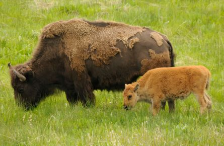 Infographic: Yellowstone's Spring Baby Animals