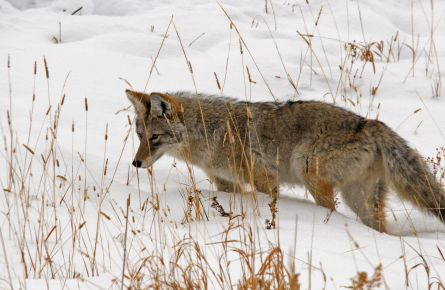 Coyote in a snowy field