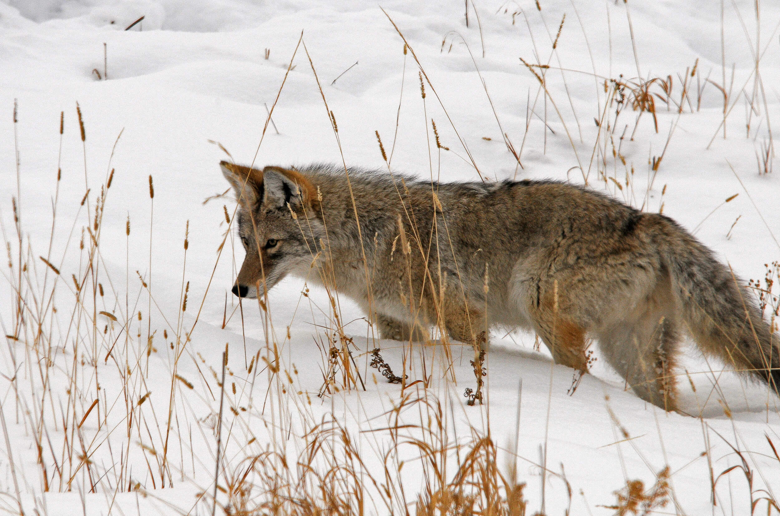 Coyote in a snowy field