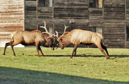 Two elk butting heads