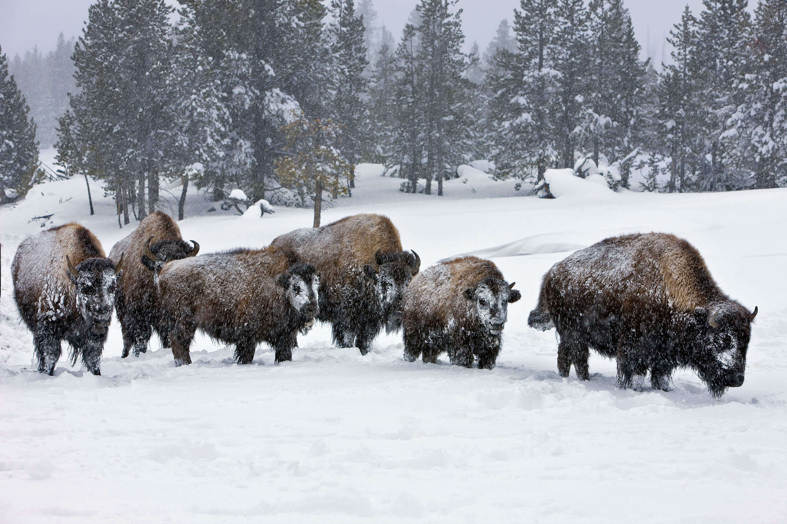 how do bison adapt to snow