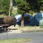 Bison at Madison Campground