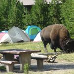 Bison with tents in the background
