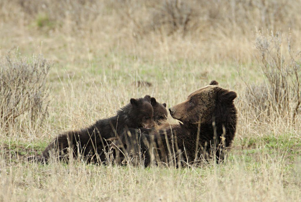 Mother bear lying in a field with cubs