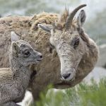 Big horn sheep with baby