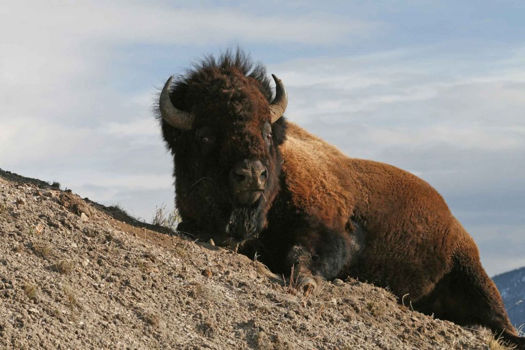 Bison on a hill
