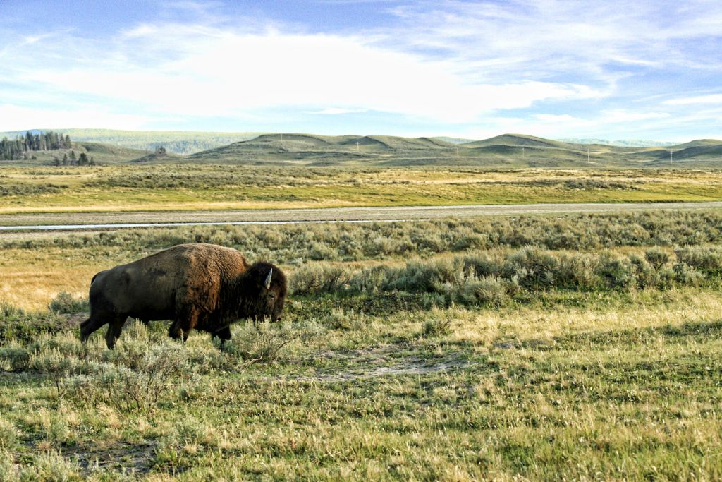 Bison roaming the field