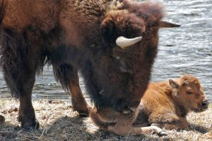 Bison mom with calf