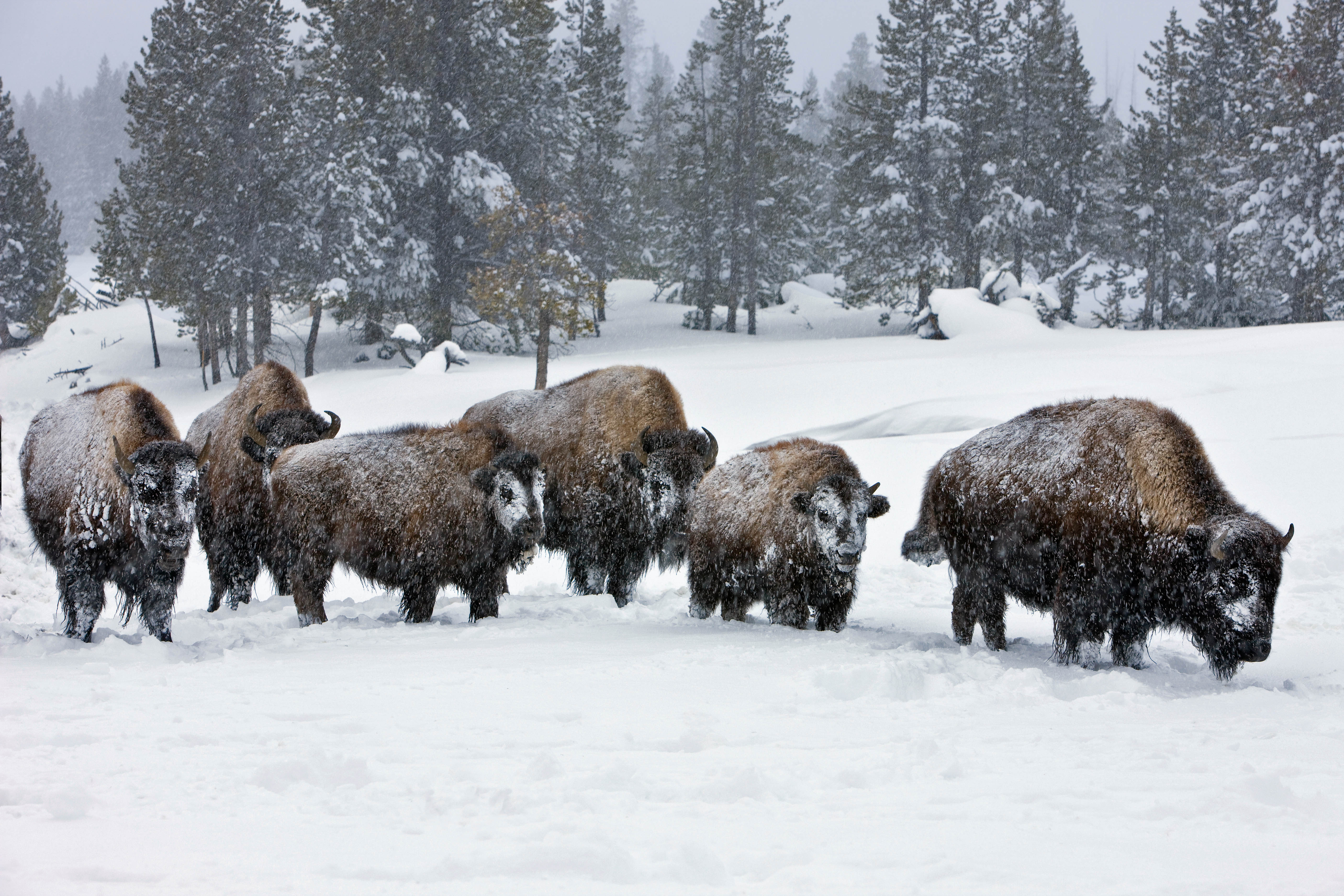 Buffalo wintering in the Upper Geyser Basin. Yellowstone National Park, Wyoming. Jeff Vanuga Photo.