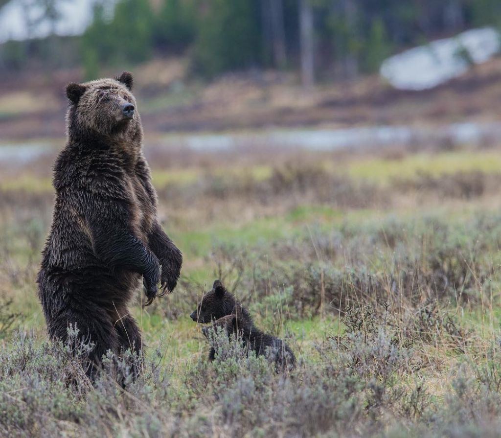 Grizzly Bear Yellowstone by angelainoregon