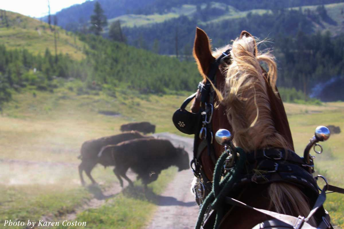 yellowstone-buffalo-in-front-of-wagon-train_coston
