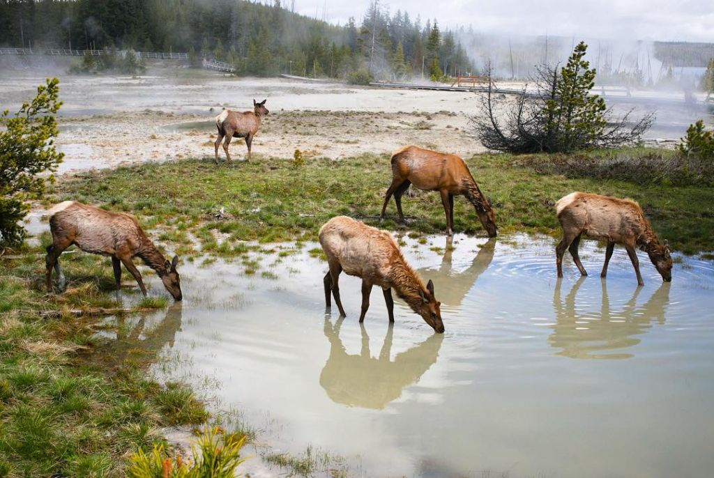 Elk in Yellowstone by premaphotographic